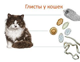 Можно ли заразиться человеку глистами от кошки?