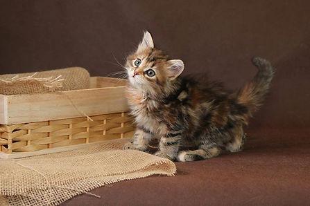 Сибирские котята купить