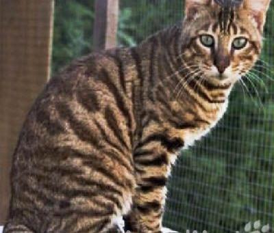Уссури. «Аборигенные кошки России»