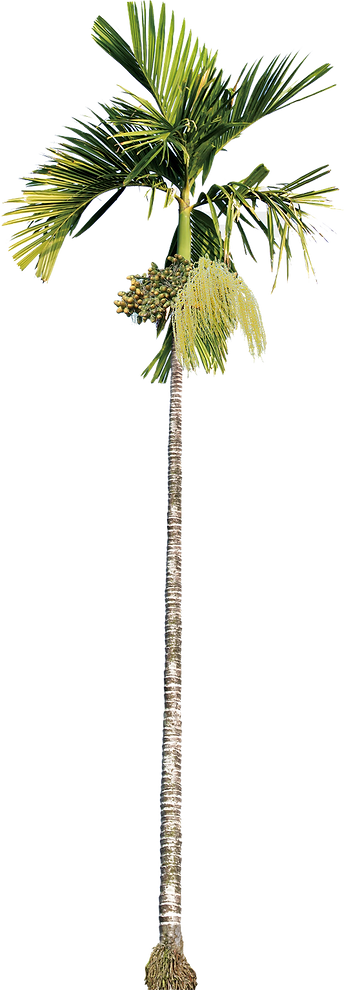 areca-palm-tree2.png