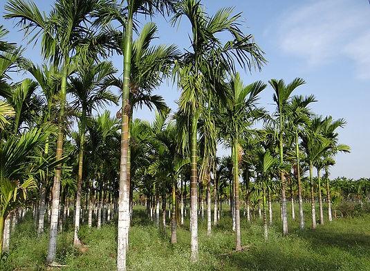 Areca Palm Leaf Plantation