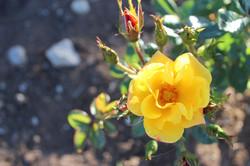Rosa floribunda amarilla
