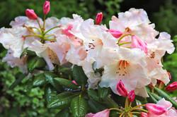 Rododendro Virginia Richards