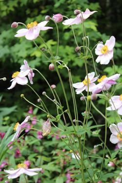 Anemona, Anemona Japónica.