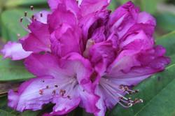 Rododendro Morado