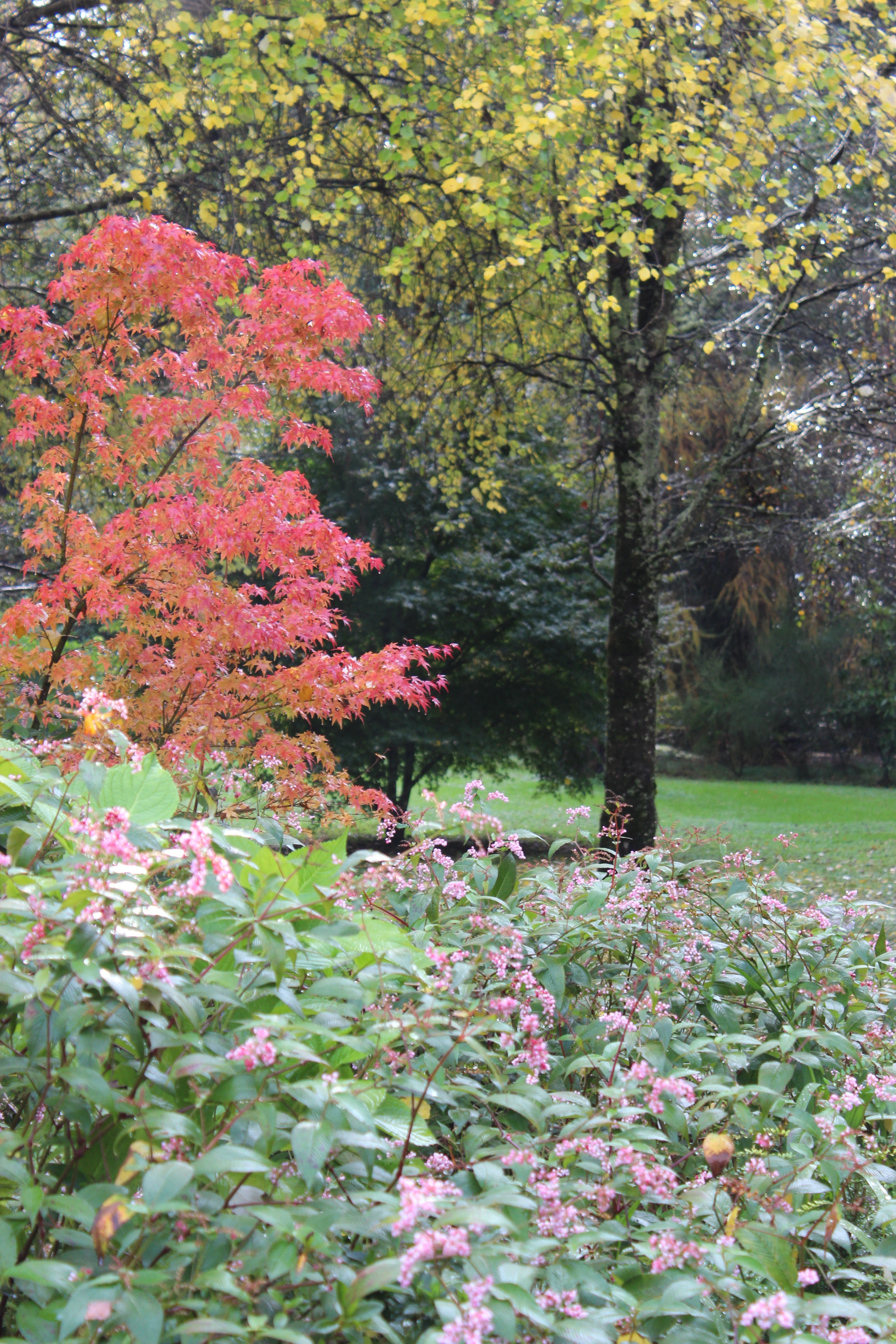 Acer japonico, Polygono campanalatum