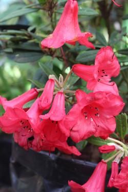 Rododendro Rastrero