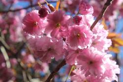 Cerezo de flor doble