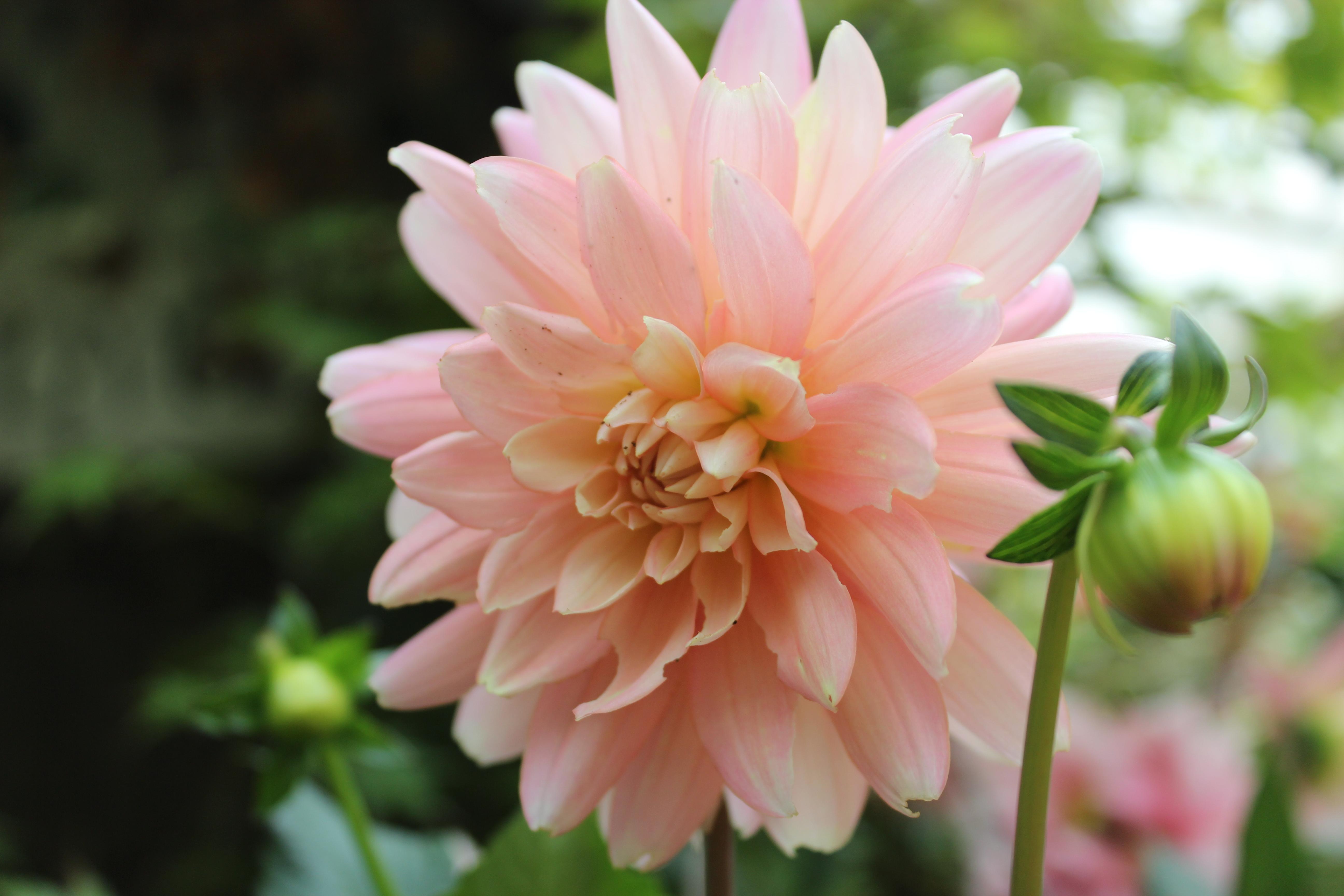 Dalia Lotus