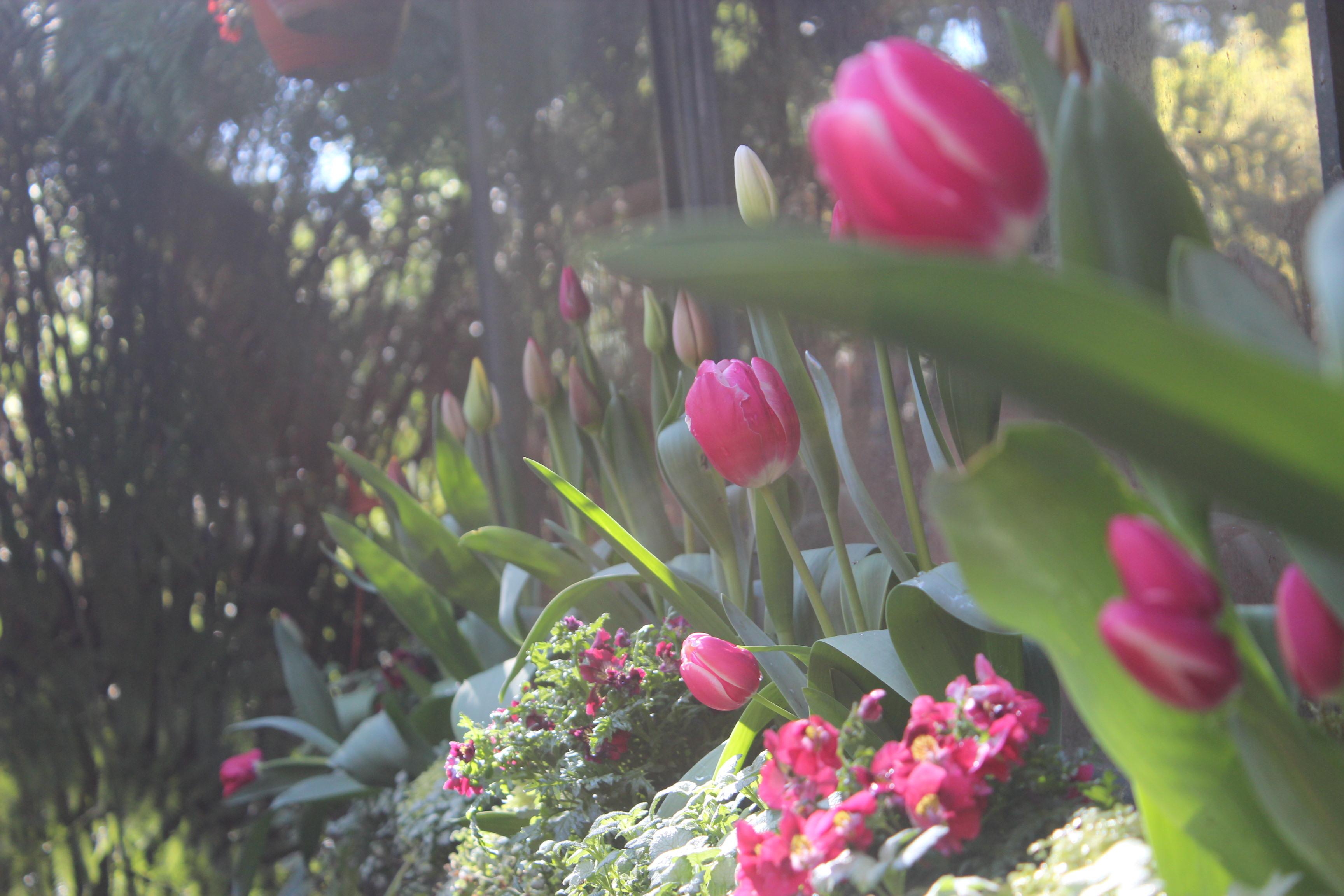Jardinera con tulipanes