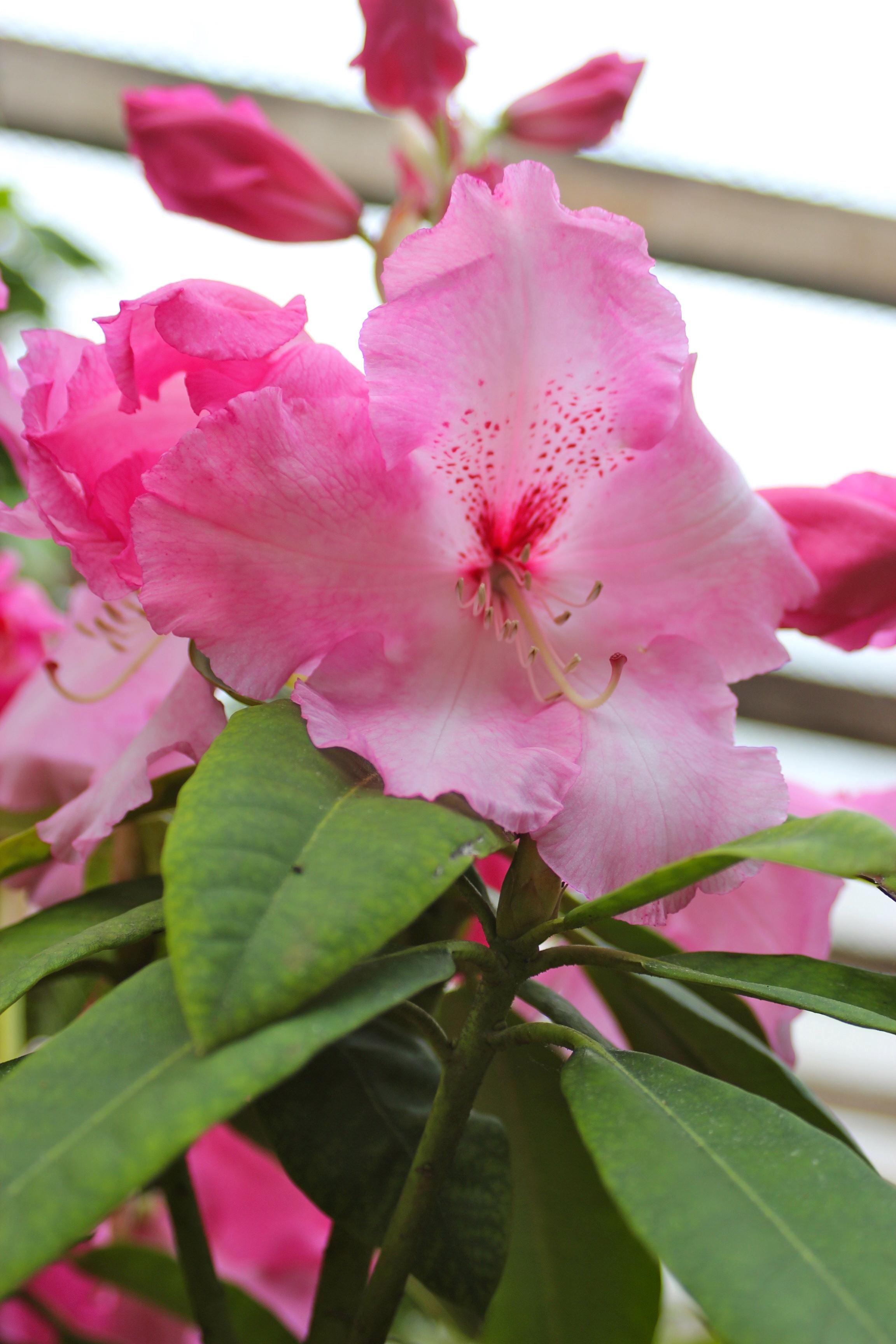Rododendro Rosado