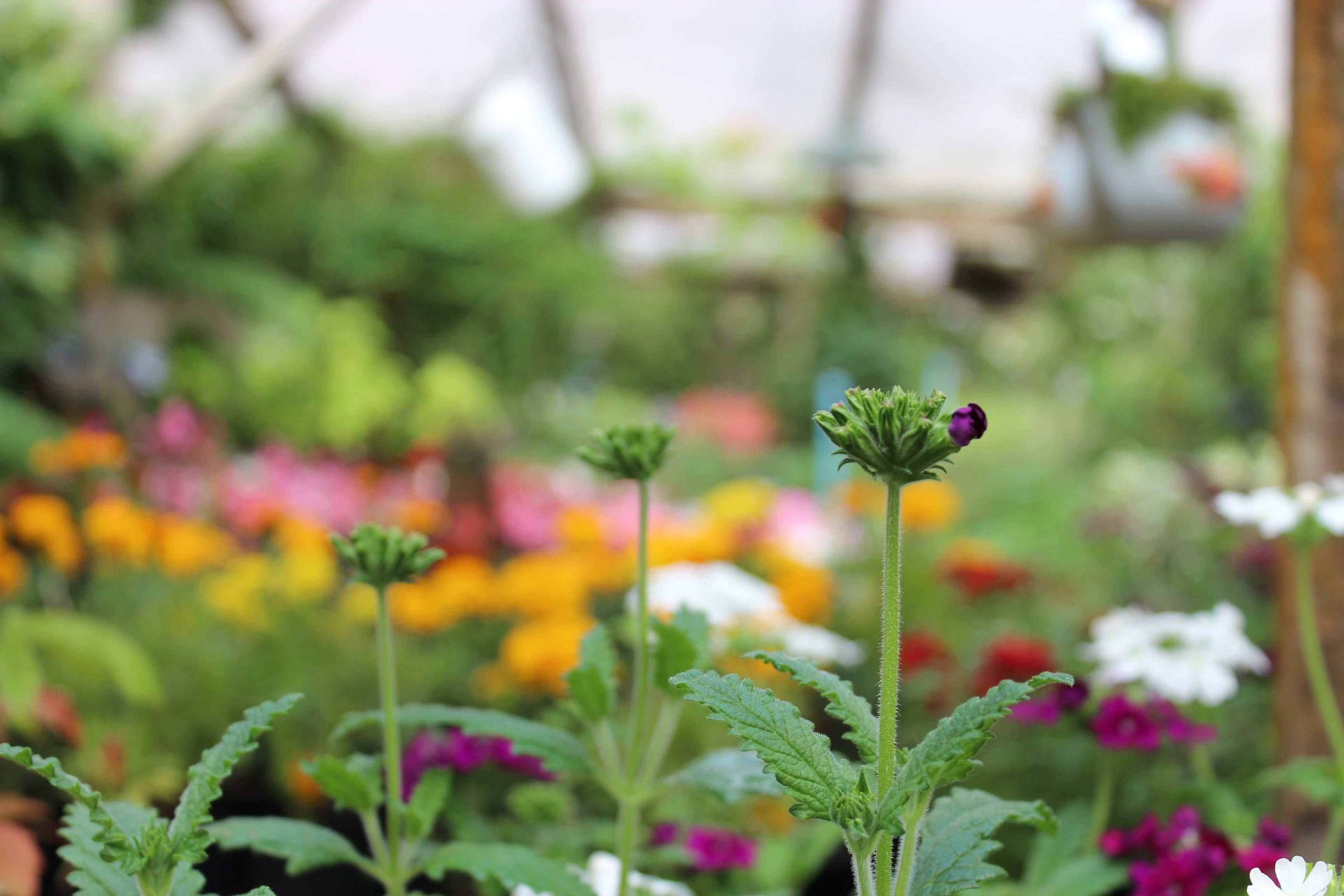 Verbena, Verbena hybrida.