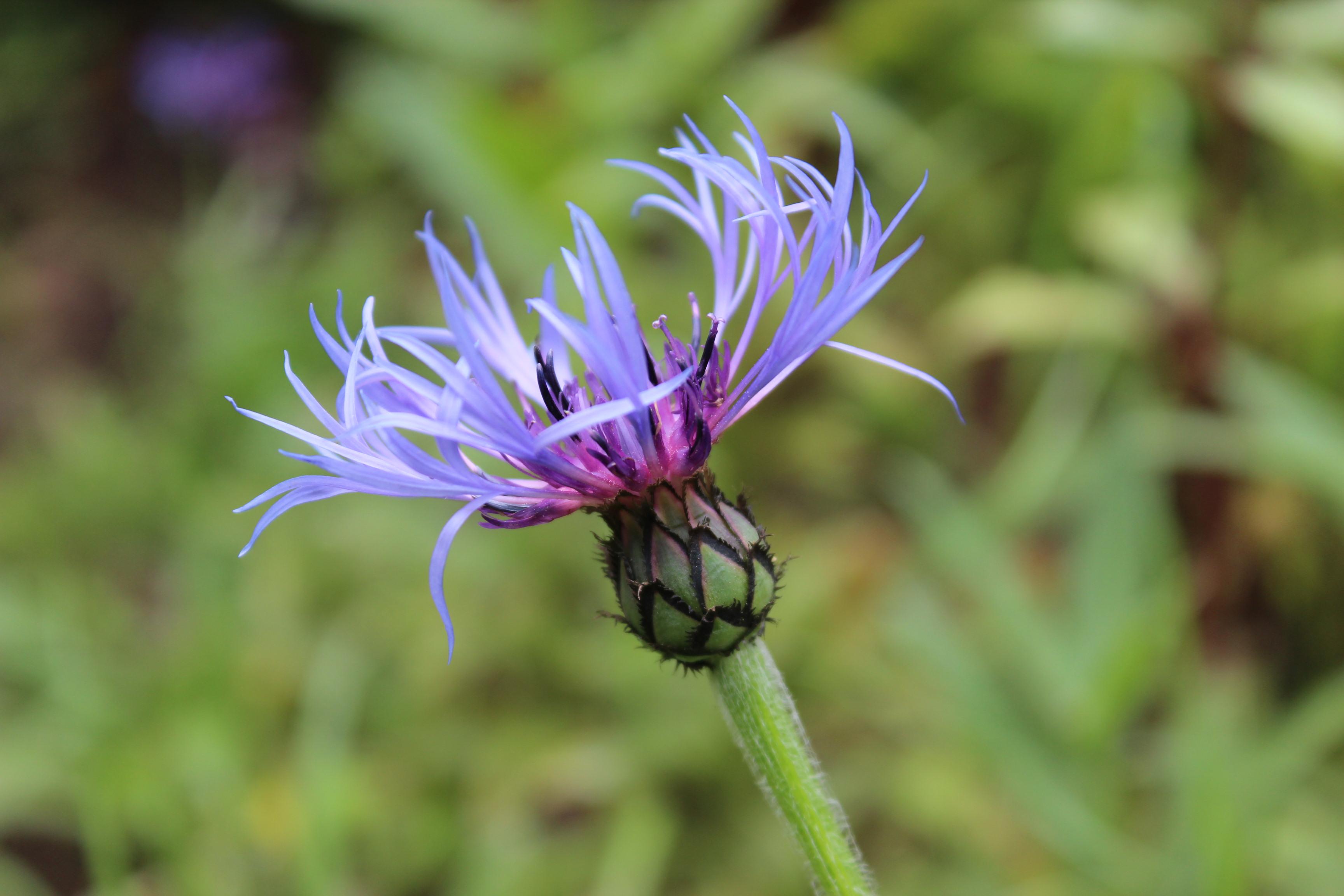 Centaurea, Anciano de las Montañas