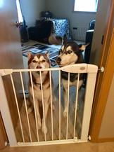 Husky Brother and Sister