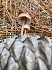 Mushroom on Pine Cone