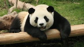 The Panda of Camp Verde by: Ava Szogyenyi (Age: 8)