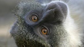 The Sykes Monkey From Nairobi, Kenya By Malek Rashad (Age: 9)