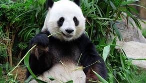 Giant Panda Facts by Avian Rojas (Age: 12)