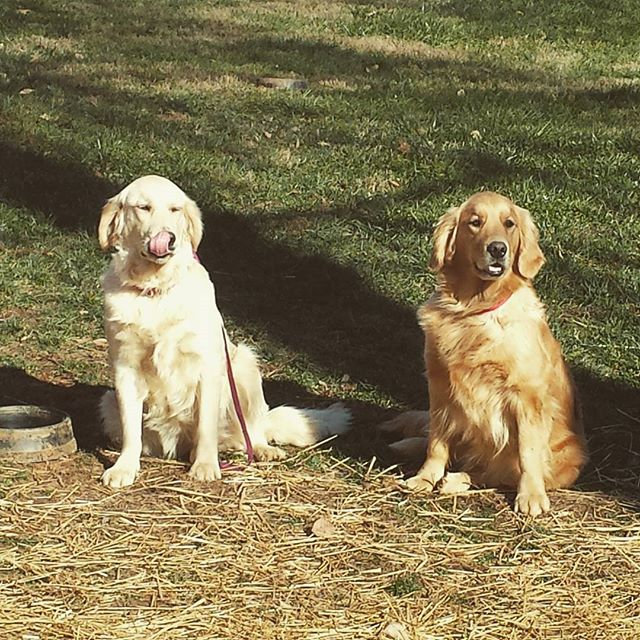 Lucky and Ivy working hard during a training session today!  Thank you Alison Wilson with Bark Buste