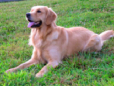 Ivywest Golden