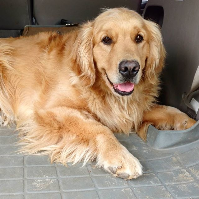 _Let's keep riding, mom!  I'm not ready to get out yet!__#putonthebreaks_#vetvisits=healthygoldens_#