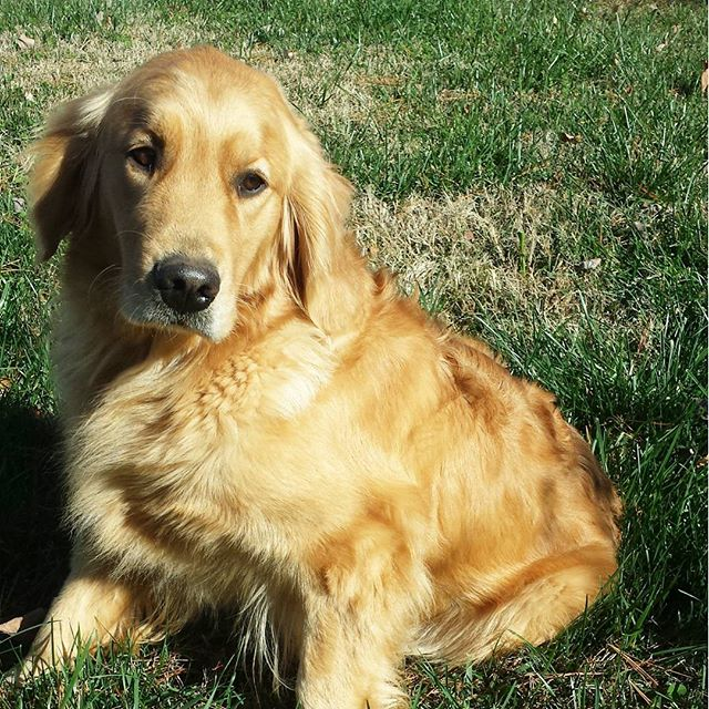 Ivy is such a beautiful girl!  #ivywestgoldens