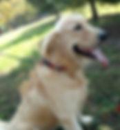 Golden Retriever Puppy Gunnar Ivywest
