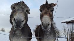 Bella und Stella - unsere Esel