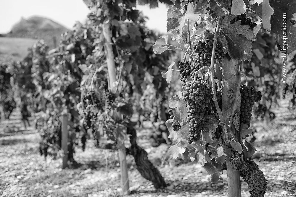 Philippe Périé, grappes de raisins dans les vignes de Cornas avec le Chateau de Crussol en arrière plan.