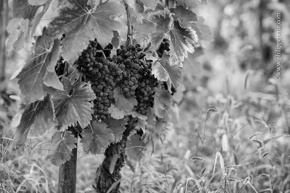 Philippe Périé, grappes de raisins dans les Côteaux de Saint Joseph à Tournon sur Rhône, Vallée du rhône