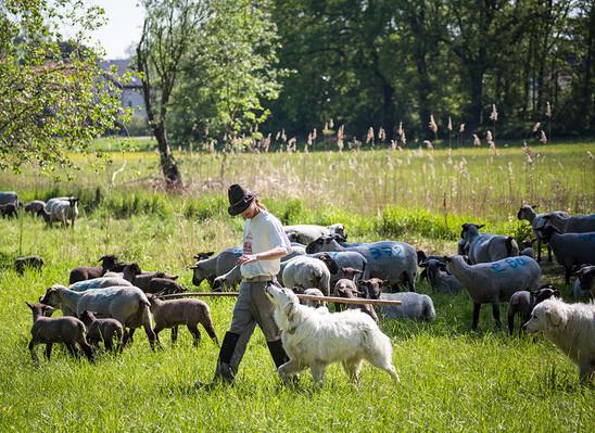 Schafhirte mit Herdenschutzhunden