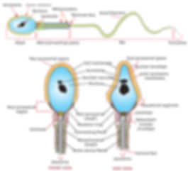 1024px-Complete_diagram_of_a_human_sperm