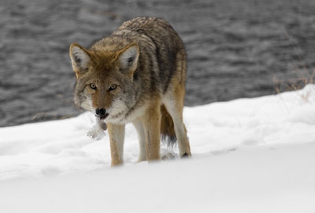 coyote-wildlife-nature-park-wild-canine-