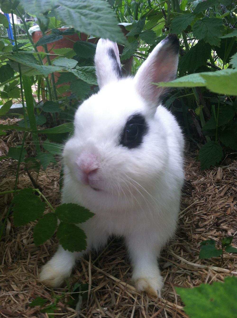 """""""Tator Tot"""" a dwarf Hotot rabbit"""