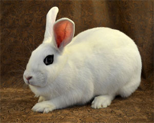 Bring him home!  Welcome to the Blanc de Hotot rabbits from France