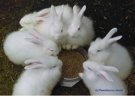 Ever hear 30 rabbits eating and drinking?
