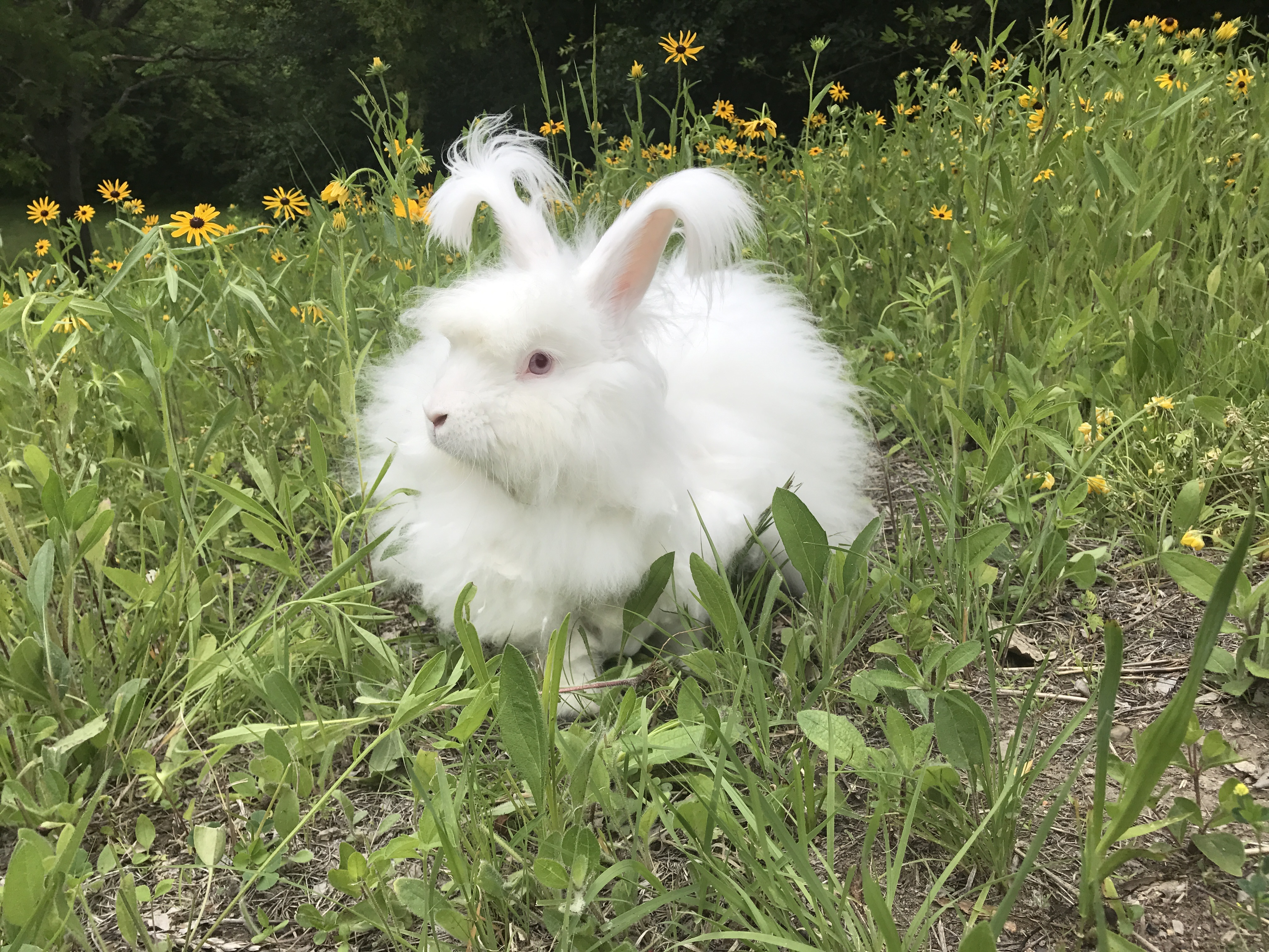 Harris, a Giant Angora from Peacebunny Island