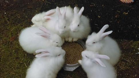 angora babies.jpg