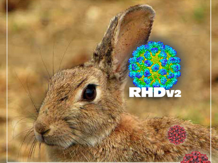EDUCATION: Rabbit Hemorrhagic Disease (RHDV2) in Minnesota