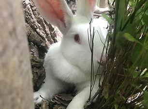 Daisy -- American White senior doe