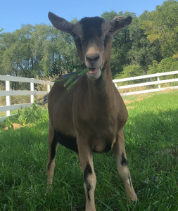 A brown male goat with white and black markings has a mouthful of greens.  Standing in front of a white picket fence at Peacebunny Cottage, this is one of four goats owned by Caleb Smith who help keep the bunnies safe.
