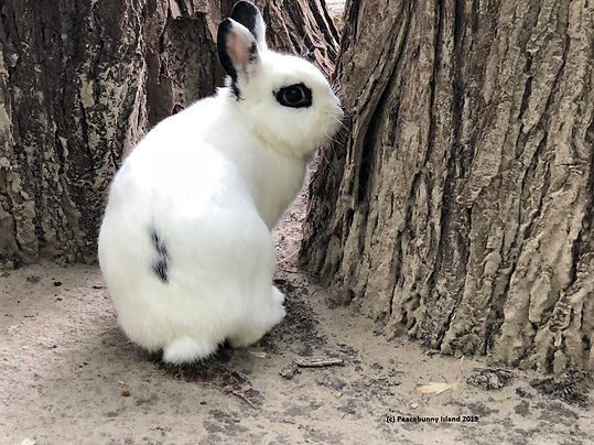 Tator Tot, a rescue rabbit with white fur and block spots and black eyeliner is exploring Peacebunny Island