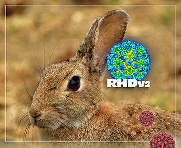RHDv2-virus.jpg