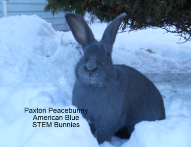 Paxton Peacebunny Our first American Blue rabbit who is the alpha bunny who started this whole program