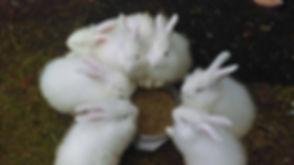 bunny angora babies.jpg