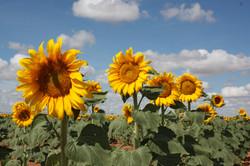 Sunflowers (4).JPG