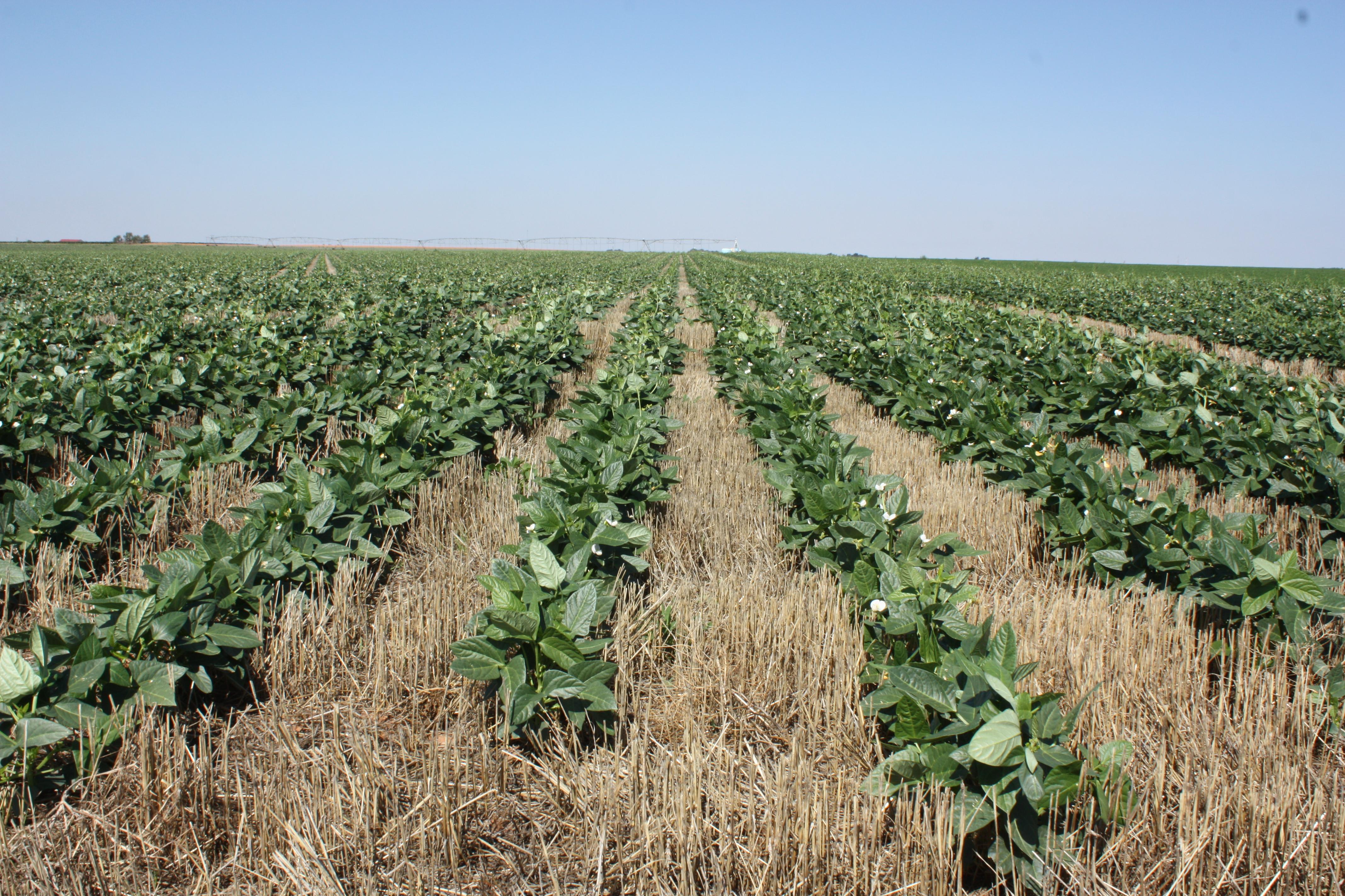 Blackeyed Peas (2).JPG