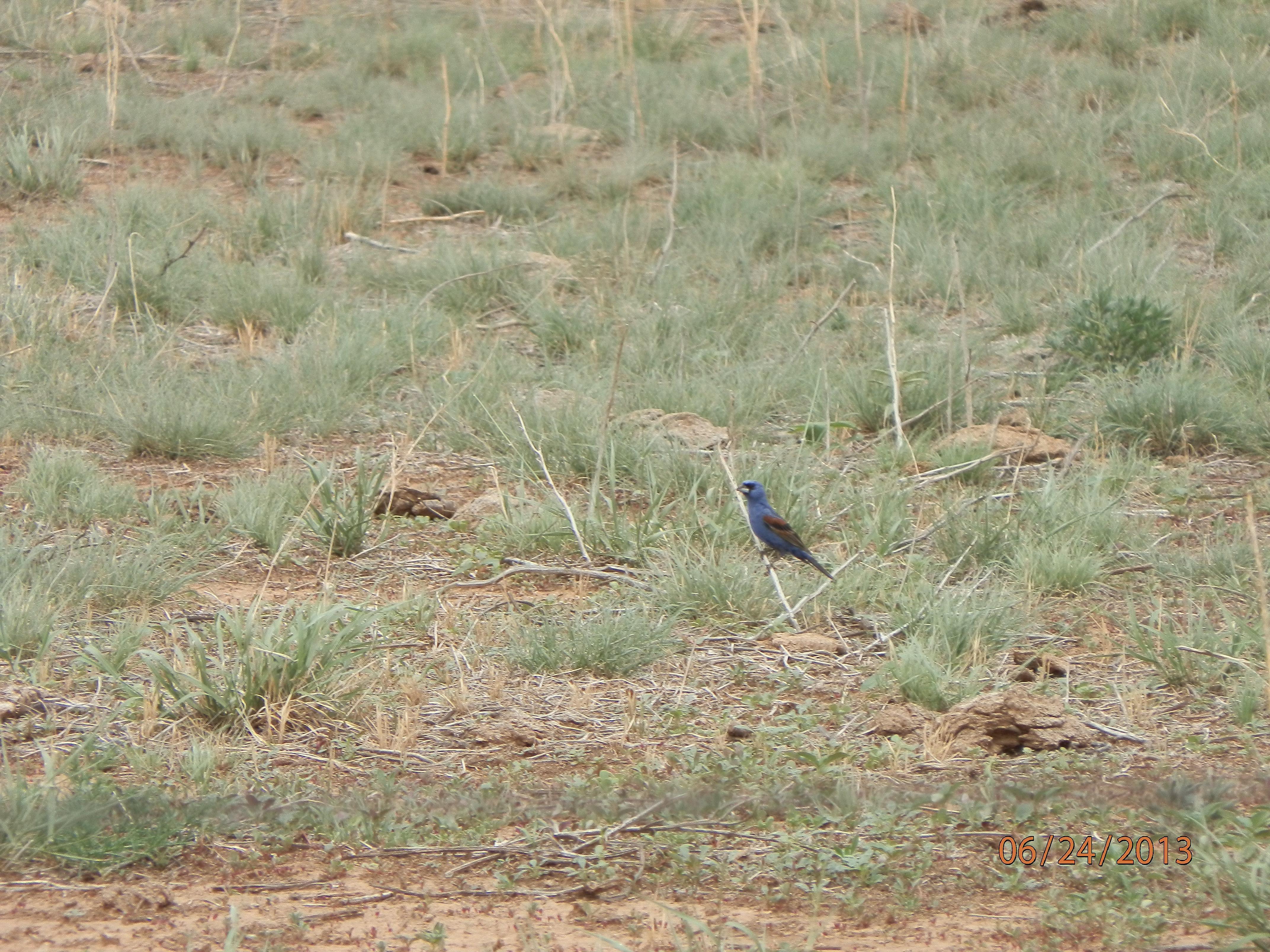 Blue Grosbeak.JPG