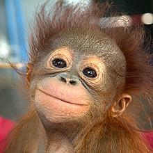 Cute baby orangutans