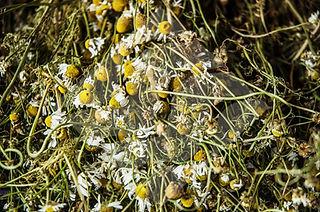 Desert Shadow organic hair care chamomile